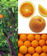 Una terrible plaga nos podría dejar sin naranjas