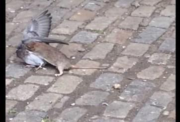 Video: Rata ataca y mata a una paloma en NY
