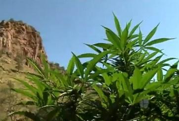 RESULTADOS: Foro nacional para la legalización de la marihuana en México