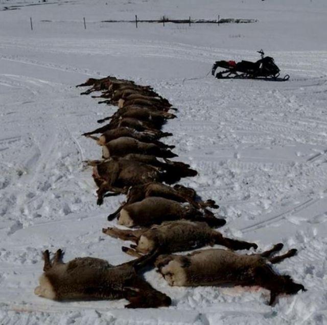 Las autoridades documentaron la muerte de por lo menos 19 alces, sospechan de una manada de lobos. (County 10)
