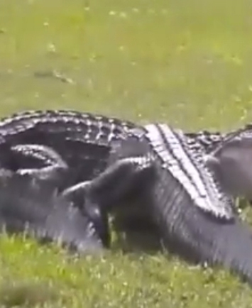 VIDEO: ¡Pelea de caimanes en un campo de golf en Florida!