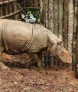 Muere único rinoceronte restante de Sumatra