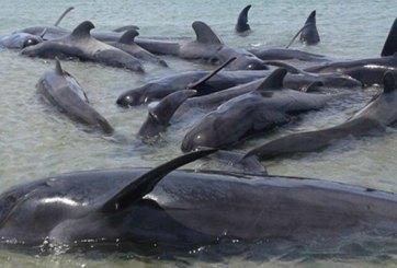 Japón reanudará la caza comercial de ballenas en 2019
