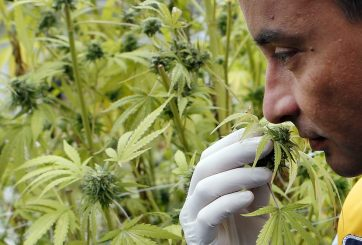¡Histórico! Cámara de Representantes aprueba despenalizar el cannabis a nivel federal