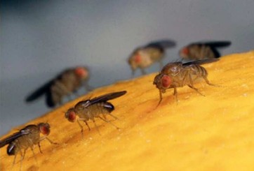 Arranca emisión de moscas estériles en Texas