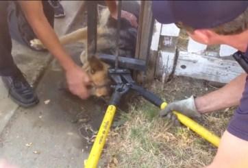 VIDEO: Bomberos rescatan a perro atorado en una reja en Sacramento