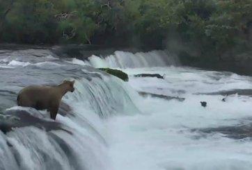 VIDEO: Mamá oso rescata a sus cachorros en un río