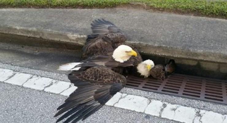 VIDEO: Muere el águila herido en Orlando, Florida