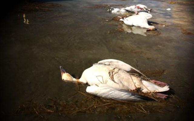 Mueren miles de gansos al llegar a lago de ácido