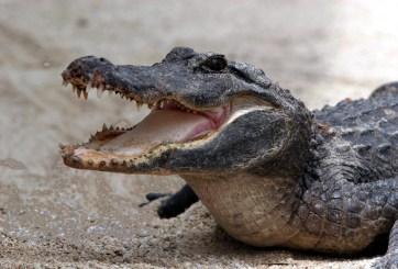 Niño es 'raptado' por cocodrilo en México