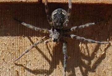 Solo un año les tomaría a las arañas del mundo acabar con los humanos