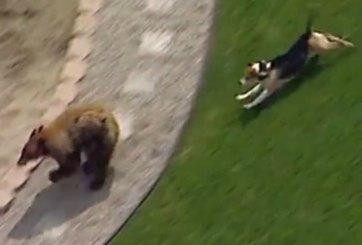 VIDEO: Perrito ahuyenta a oso en patio de California
