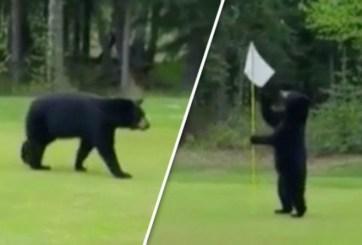 VIDEO: Este oso solo quería que lo dejaran jugar golf