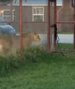 VIDEO: Gatita reta a leona y sobrevive para contarlo