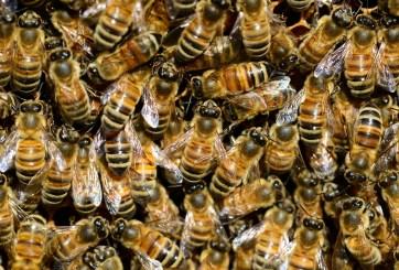 20 perros perdieron la pelea y la vida contra abejas africanas