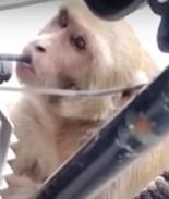 VIDEO: Mono adicto a la gasolina se la roba de motocicletas
