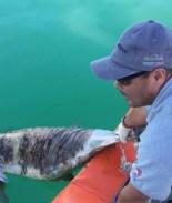 Científicos capturan a Vaquita Marina y se les muere