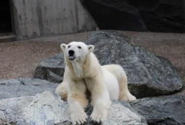 VIDEO: Desgarrador momento en que un oso polar camina moribundo