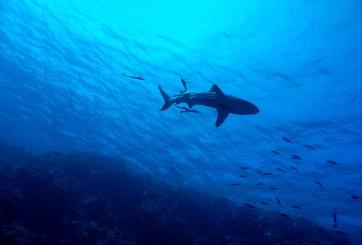 Ahora con drones se buscarán tiburones en playas turísticas