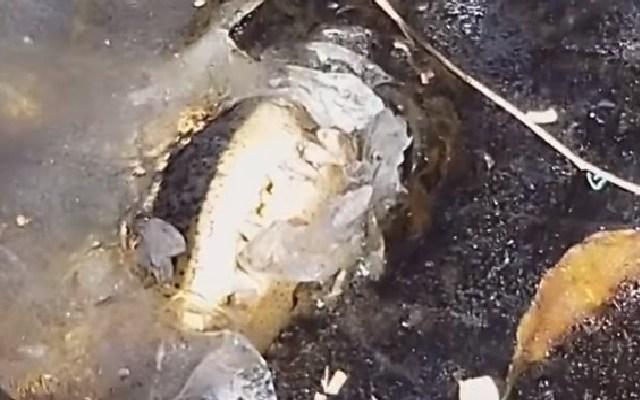 VIDEO: Caimanes sobreviven de manera increíble bajo el agua congelada