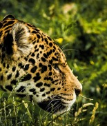 VIDEO: Jaguar pasea en hotel de México libre de turistas por coronavirus