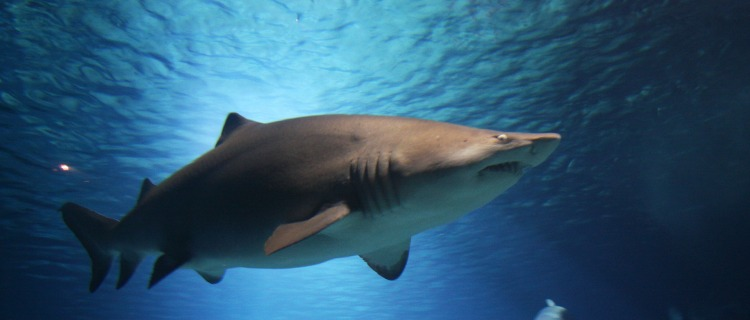 Impacta video de tiburón hembra devorando a uno macho