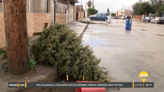 Ofrecen alternativa para desechar arbolitos de navidad en Tijuana
