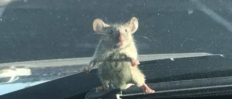La foto de un ratón que se hizo viral gracias a un policía