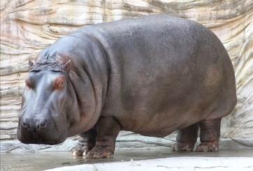 VIDEO: Joven entra a hábitat de hipopótamo para darle una 'nalgada'