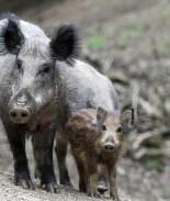 VIDEO: Conoce a Pigzilla, el jabalí más grande que hayas visto