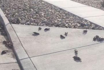 VIDEO: Aparecen cientos de aves sin vida en calles de Utah