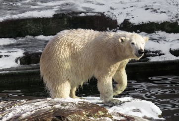 Osos polares en peligro de extinción, preocupa que adelgacen
