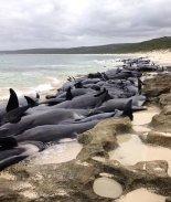 VIDEO: Encuentran 130 ballenas varadas en el oeste de Australia
