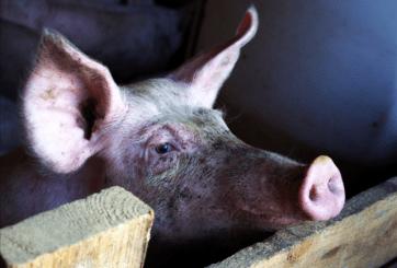 Descubren mutación de influenza AH1N2 con potencial pandémico en Brasil