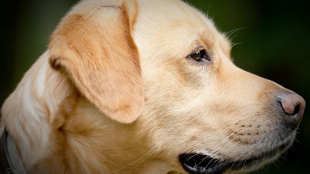 Perro olfateador