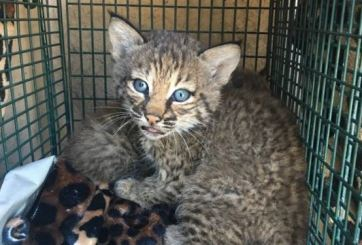 Creyeron haber rescatado a unos gatitos pero algo se salió de control