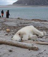 oso polar muerto