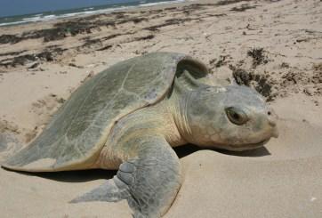 tortuga muere ahorcada