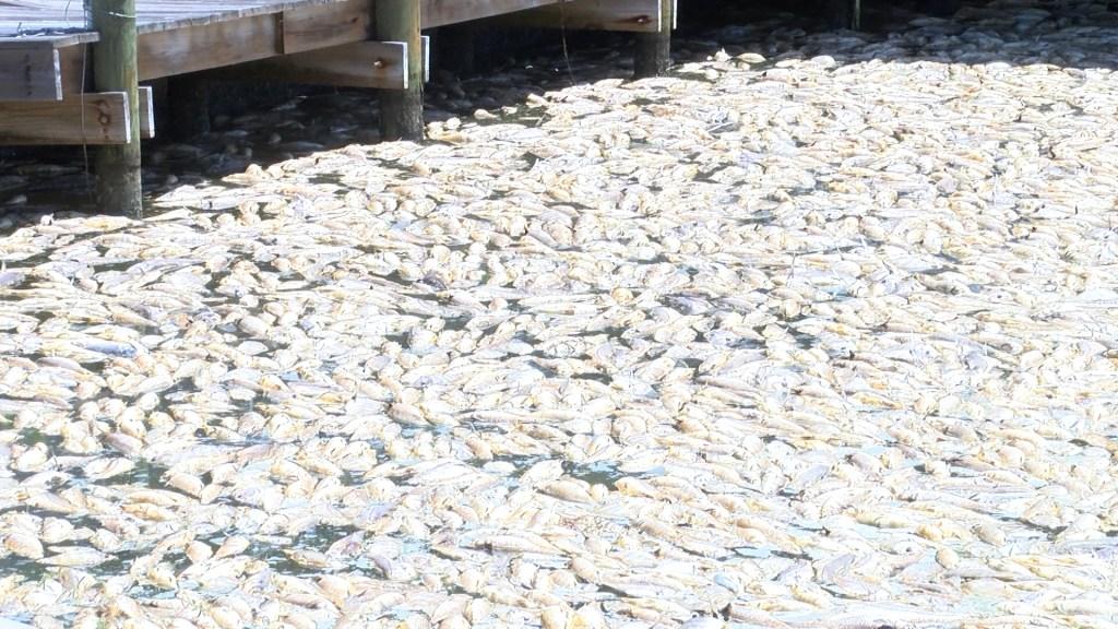La marea roja ha afectado las costas de Florida desde hace 10 meses
