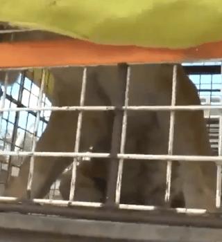 leona ataca a su dueno e Juárez