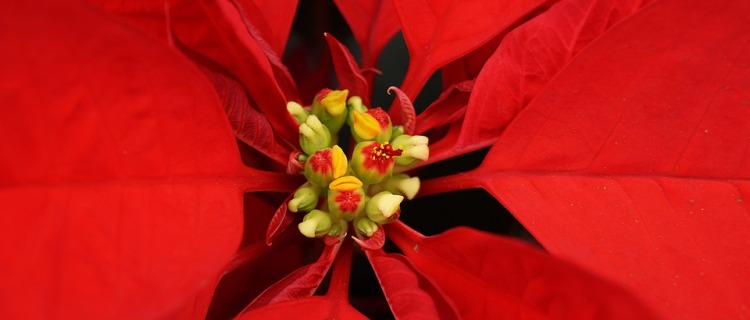 La flor de Nochebuena y otras plantas tóxicas para los gatos
