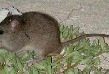 El primer mamífero del mundo que se extingue debido al cambio climático