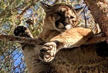 Bomberos rescatan a puma de la rama de un árbol en California