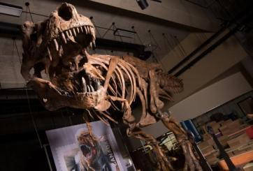 Descubren el fósil de un tiranosaurio más grande jamás encontrado