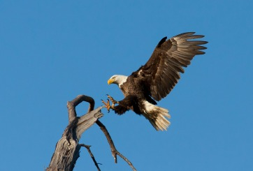 Sorprende trío de águilas que cuidan a un aguilucho
