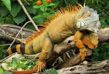Regresa tradición de comer iguanas en Semana Santa en pueblo de México