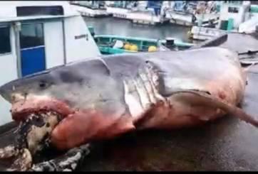 Tiburón murió al tratar de devorar una tortuga
