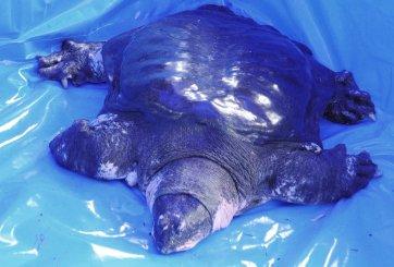 Muere una de las tortugas más amenazadas del mundo; solo quedan 3