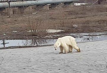 En doloroso video osa polar camina hambrienta y cansada en una ciudad