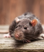 Advierten infestación de ratas en ciudades de California